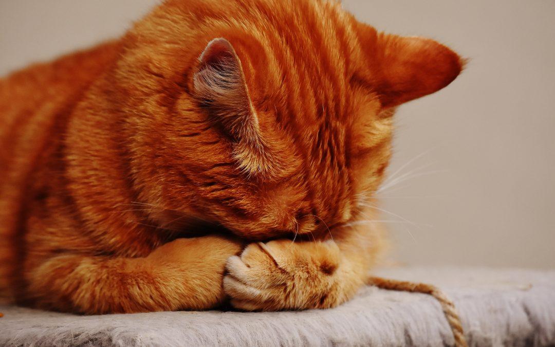 A macskaszőr-allergia mint a béke szigete